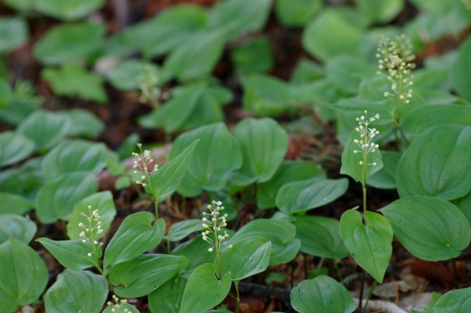 210 - Tapis de Maianthemum bifolium en boutons - Sentier des Pyramides - Boscodon - 13.06.2012.JPG