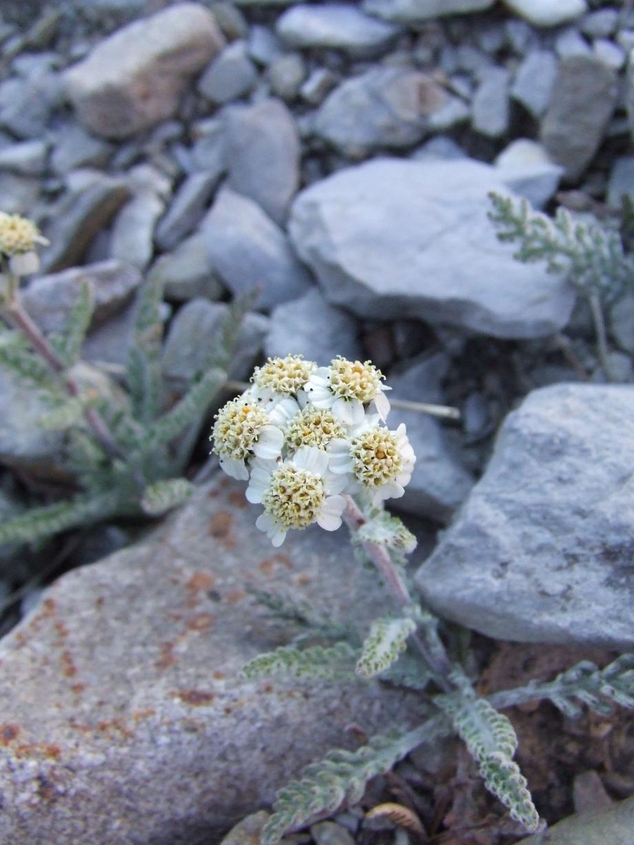 Achillea nana (Composées) - Lac d'Allos - Olivier - Août 2006.JPG