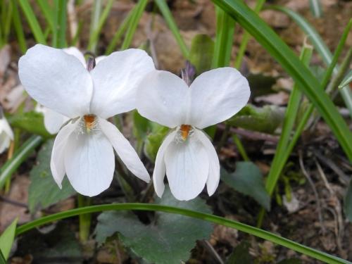 Viola-alba1.jpg