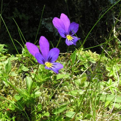 Viola-lutea.jpg