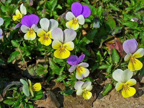 Viola_tricolor.JPG