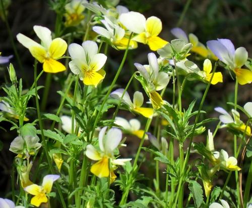 Viola_arvensis.JPG