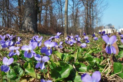 Viola.reichenbachiana2.jpg
