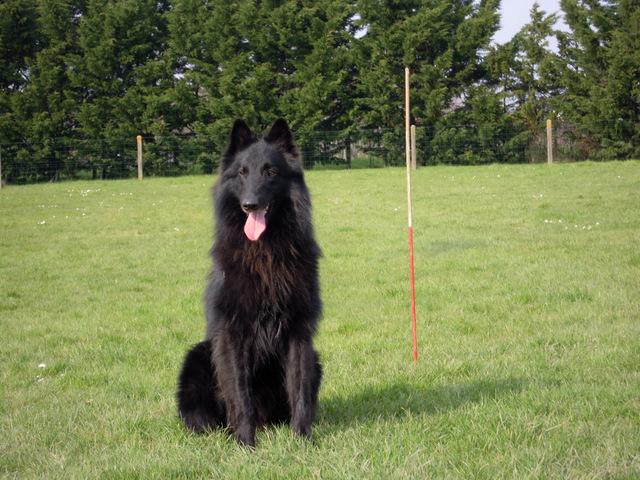 chiens-Berger-Belge-910c3362-c030-c124-6510-8089d0549b28.jpg