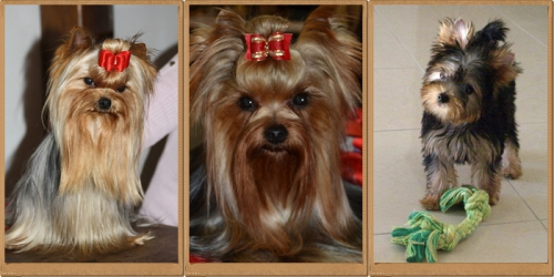royalton yorkshire terriers.jpg
