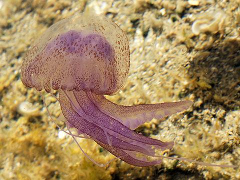 http://static.blog4ever.com/2012/03/678268/Meduse-Pelagia_noctiluca.jpg
