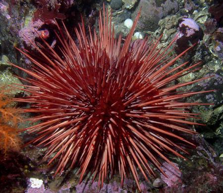 http://static.blog4ever.com/2012/03/678268/Oursin-Strongylocentrotus_franciscanus.jpg