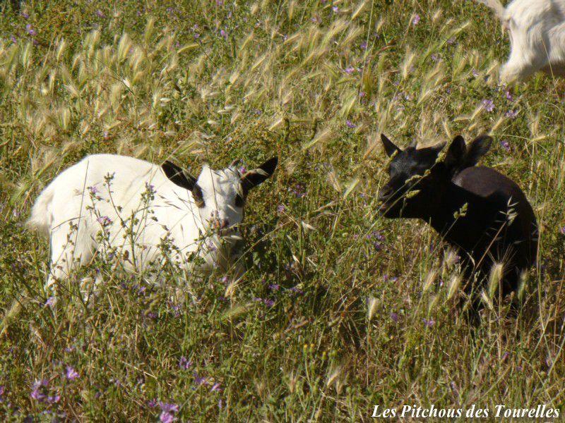 GOMETTE & GRAZIELLA - chèvres toys