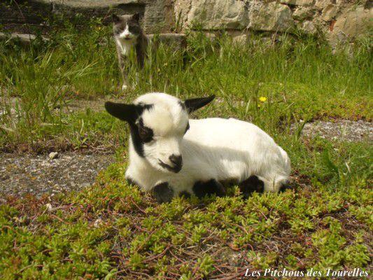 Eliot - Chèvres miniatures vendues 2009