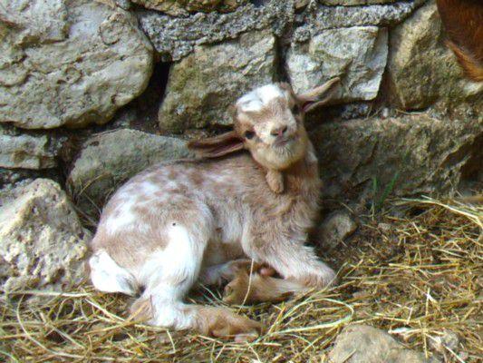 Fuego - chèvres miniatures vendues 2010