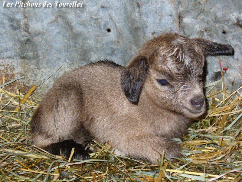 Ghost - chèvres miniatures vendues 2011