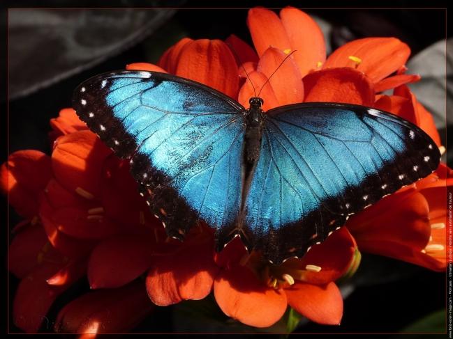 morpho-bleu-sur-fleur.jpg