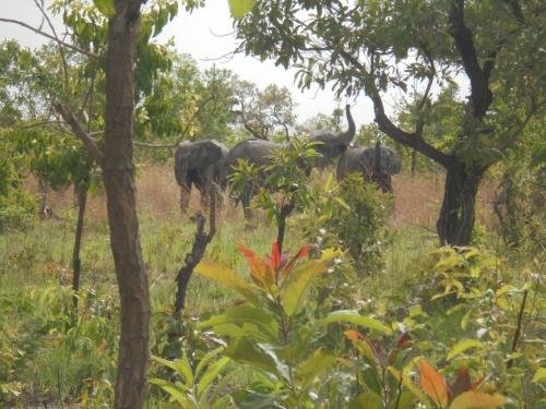 Les éléphants font des animaux sauvages qu'on rencontre régulièrement dans le ranch.jpg