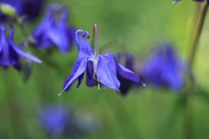 ancolie bleue.jpg