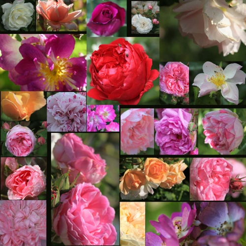 montage rosier.jpg