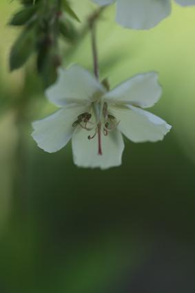 geranium phaeum album.jpg
