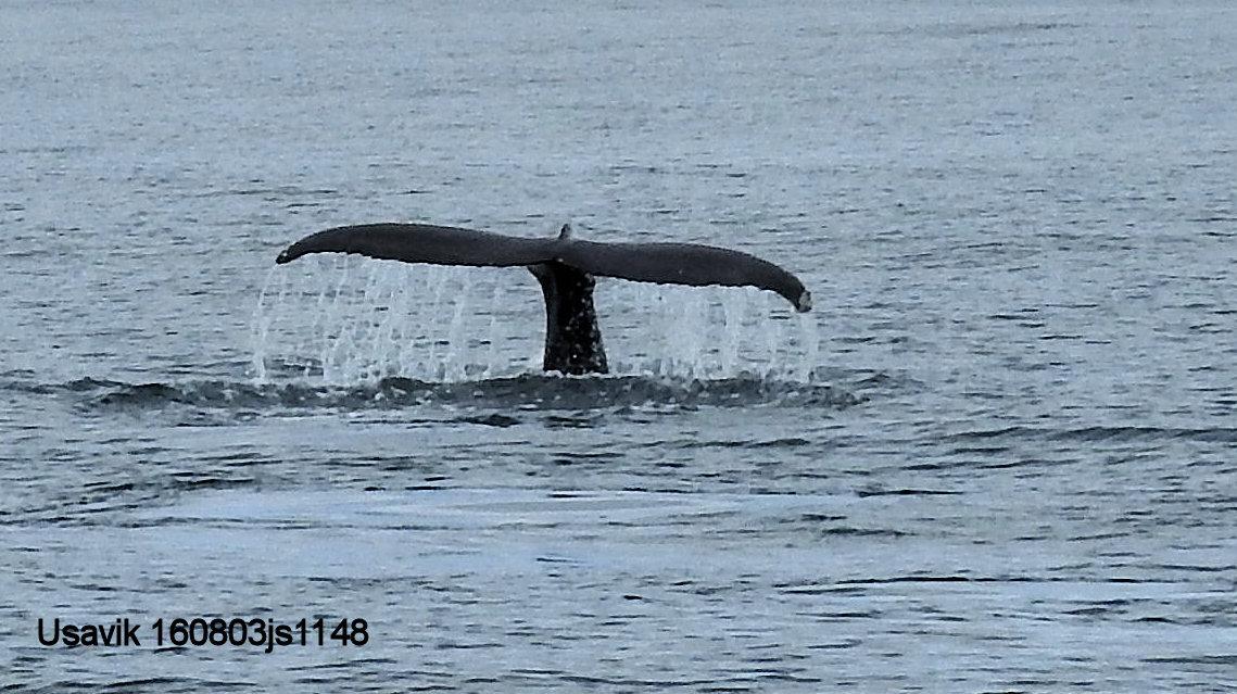 Usavik Baleine 160802js1148.JPG