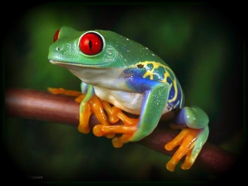 grenouille-a-ventre-de-feu.jpg