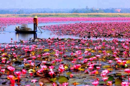 Sea of red lotus Thailand.jpg