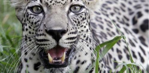 Léopard blanc d'Egypte.jpg