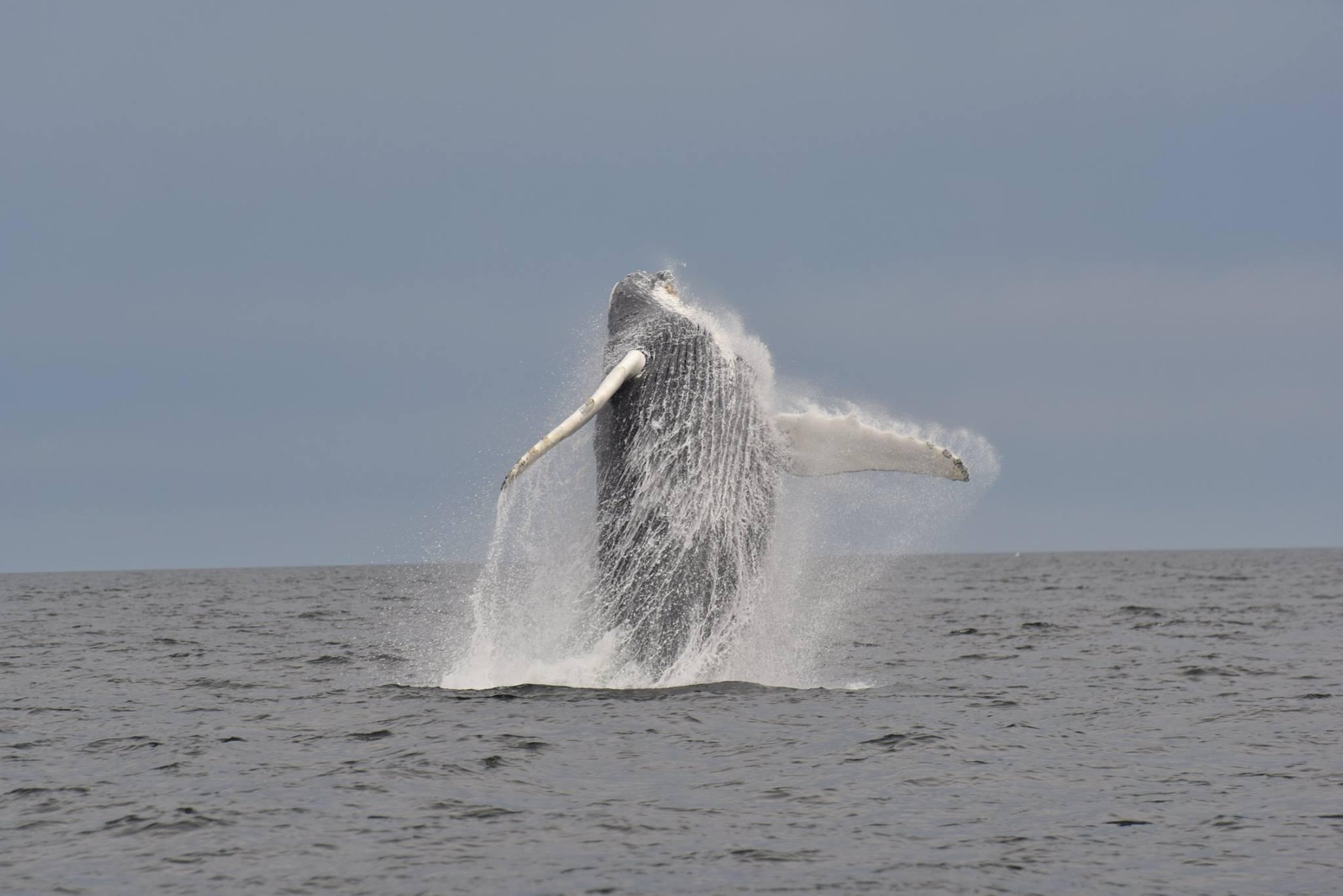 Baleine à bosse 12 Juillet 2016.jpg