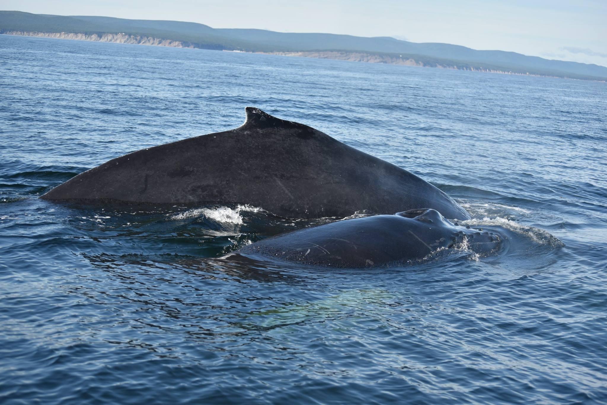 Baleine et baleineau.jpg