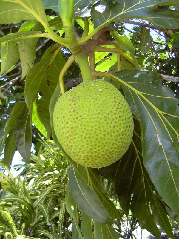uru arbre à pain. 02.jpg