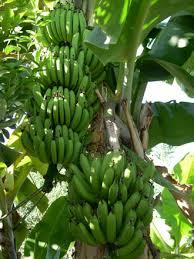 bananier Tahiti.jpg