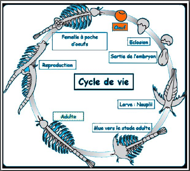 Cycle de Vie oeuf.JPG