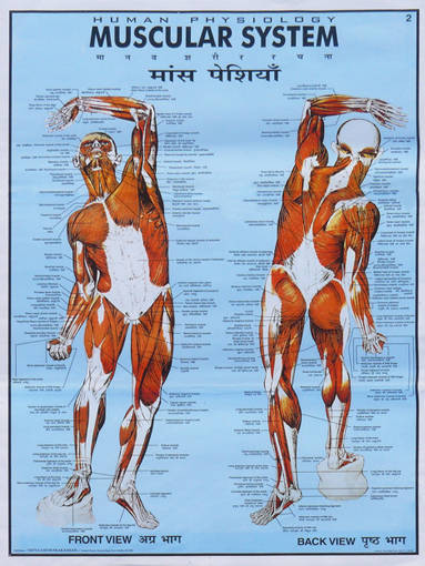 DD grandemuscularsystem (75x100).jpg