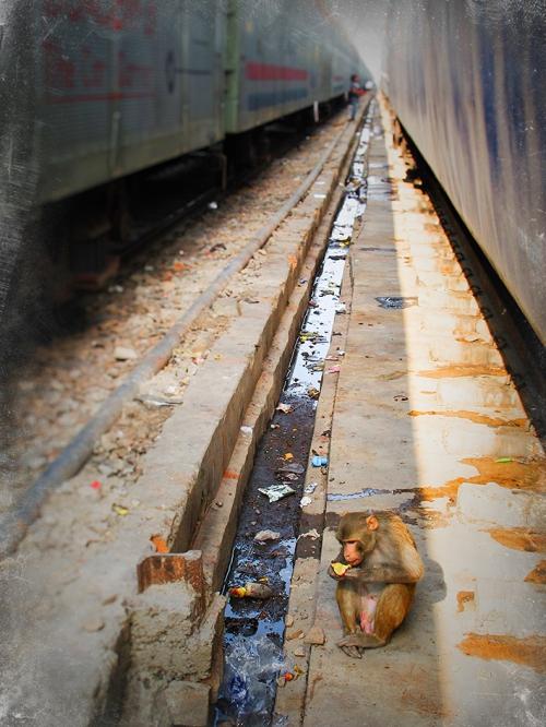 Small IMG_2828 singe entre deux trains.jpg