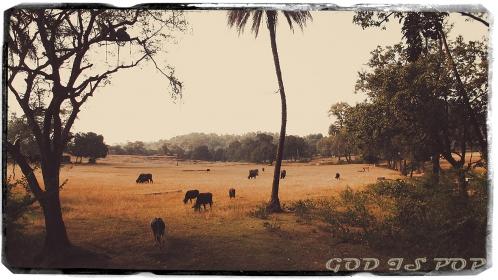 Small IMG_4429 Champs et buffalos.jpg