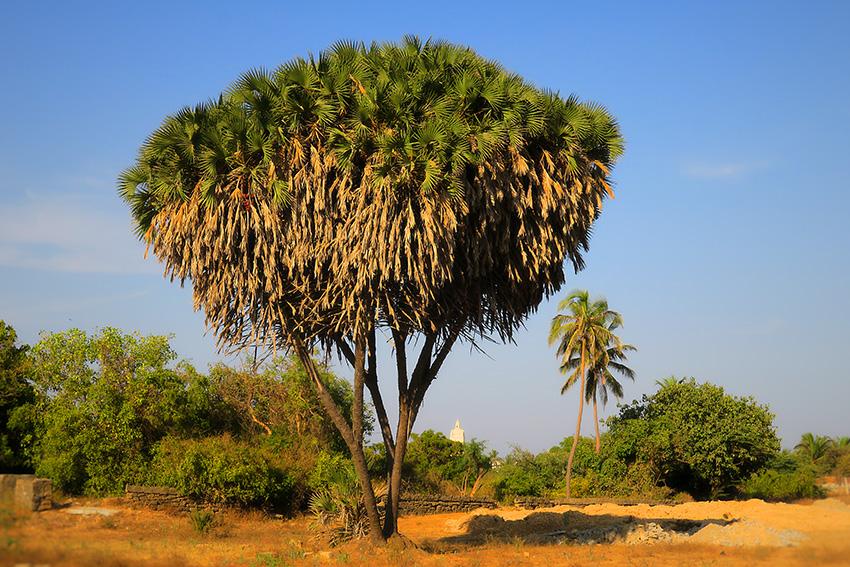 IMG_1095 palmiers duMozambique Diu Small.jpg