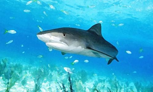 requin_tigre.jpg