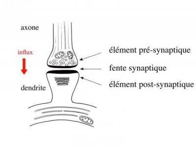 synapse.jpg