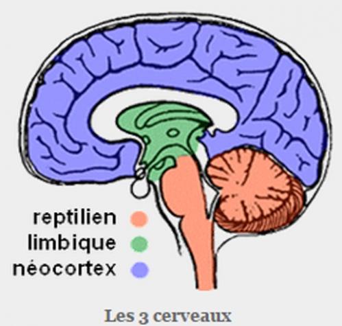 3 cerveaux.jpg