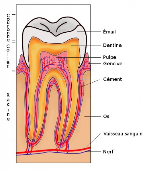 dentstructure.jpg