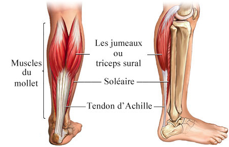muscles du mollet.jpg