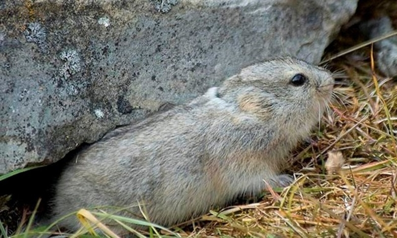 Lemming arctique_3.jpg