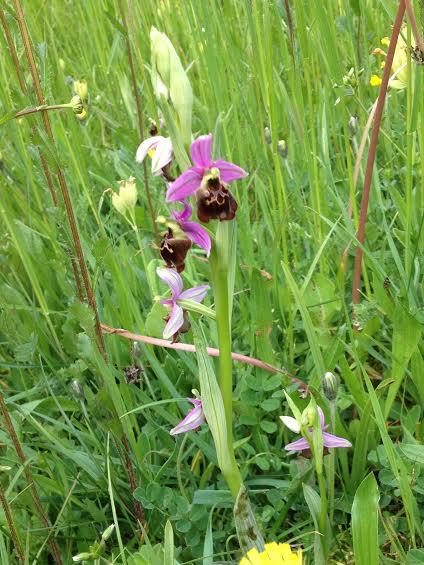 N°21 orchidée sauvage - fort de Vaux.jpg
