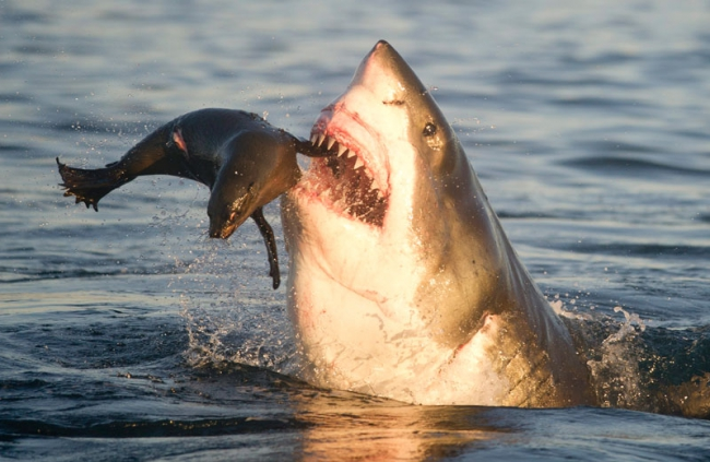 Requin   BL  bouffant  1  phoque.jpg