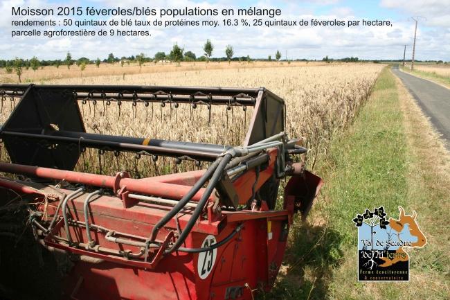 blé-fèverole-moisson-2015.jpg
