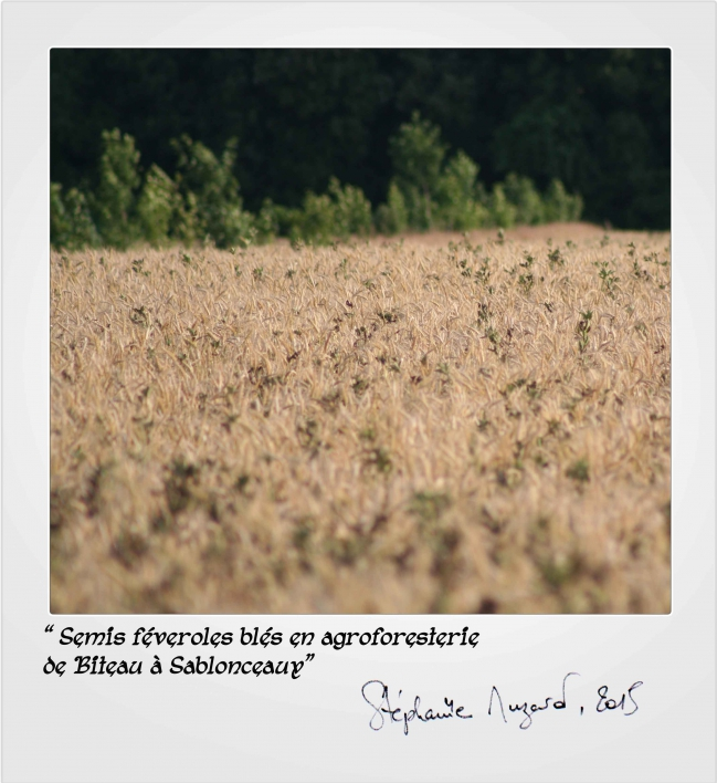 semis-féveroles-blés.jpg