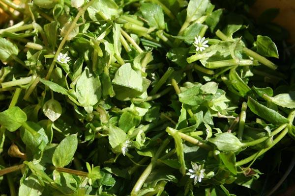 stellaire et salades sauvages (1).jpg