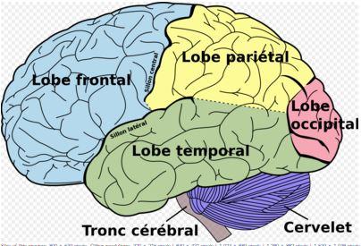 espace de thérapies émotionnelles nicole pierret le développement du cerveau.JPG