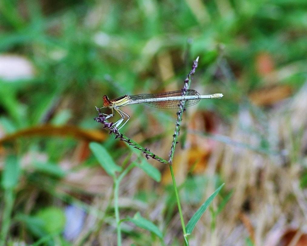 PLATYCNEMIDAE Platycnemis latipes 1 (agrion blanchâtre femelle).JPG