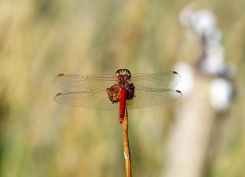 LIBELLULIDAE Sympetrum fonscolombii 6 (sympetrum à nervures rouges mâle).JPG