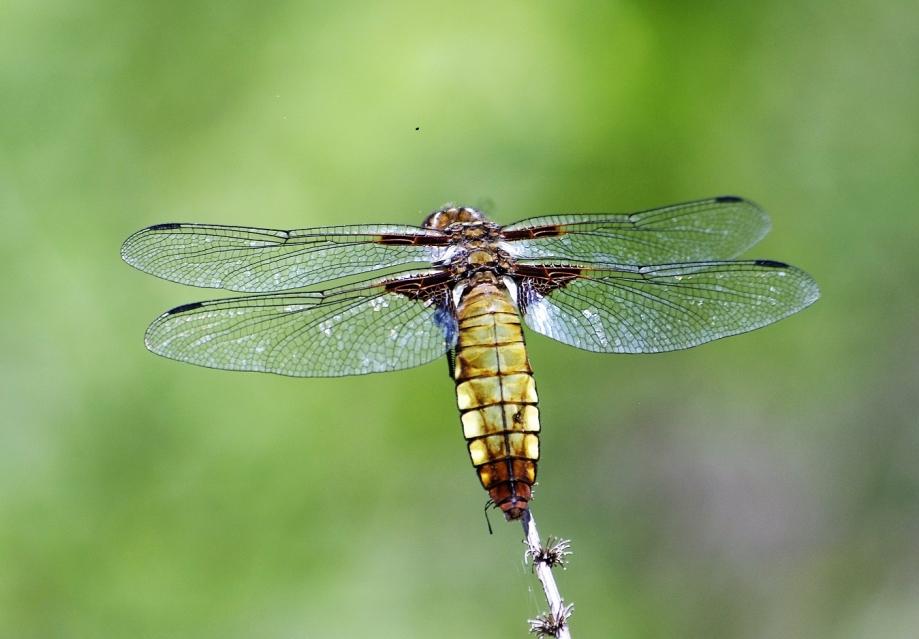 LIBELLULIDAE Libellula depressa 1 (libellule déprimée femelle).JPG