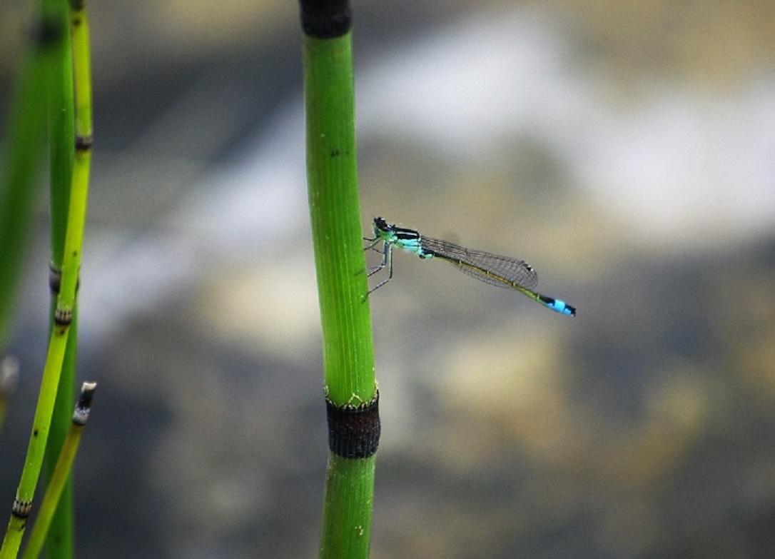 COENAGRIONIDAE Ischnura elegans 1 (agrion élégant).JPG