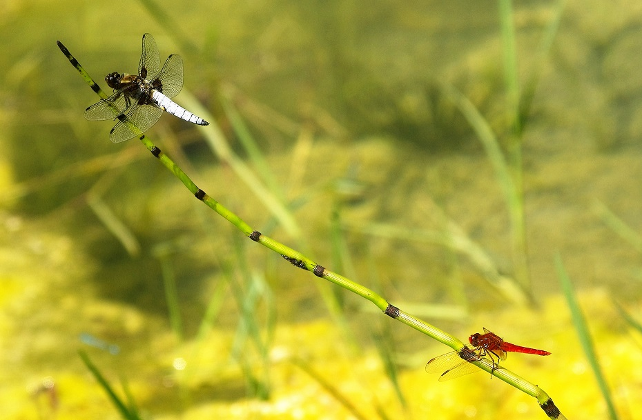 LIBELLULIDAE Libellula depressa 4 (libellule déprimée mâle).JPG